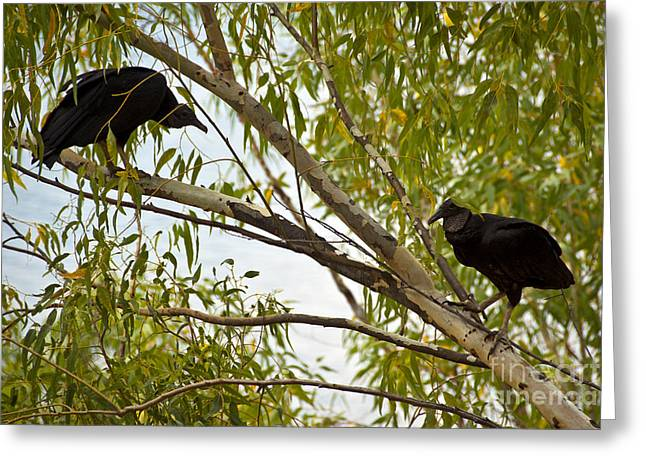Turkey Buzzard Greeting Cards - Turkey Vultures Greeting Card by Mark Newman