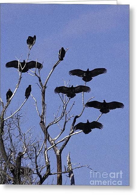 Turkey Buzzard Greeting Cards - Turkey Vultures Greeting Card by Ron Sanford