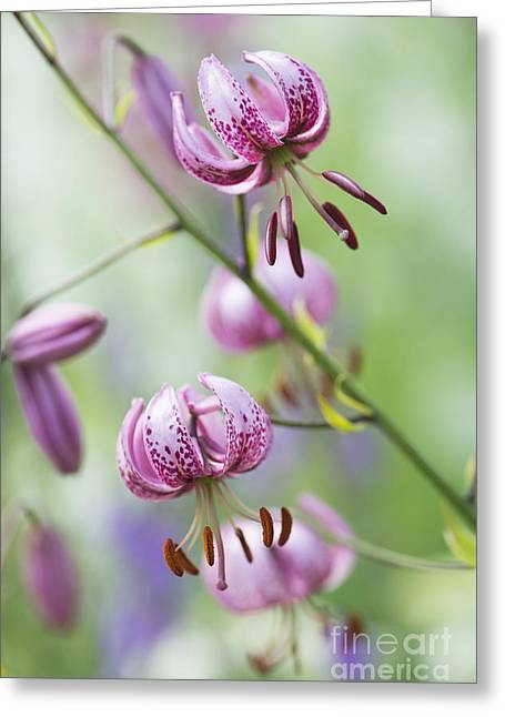 Ornamental Plants Greeting Cards - Turks Cap Lily Greeting Card by Tim Gainey