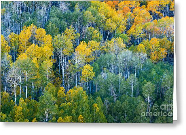 Turning Leaves Photographs Greeting Cards - Turning Aspens at Dunderberg Meadows Greeting Card by Alexander Kunz