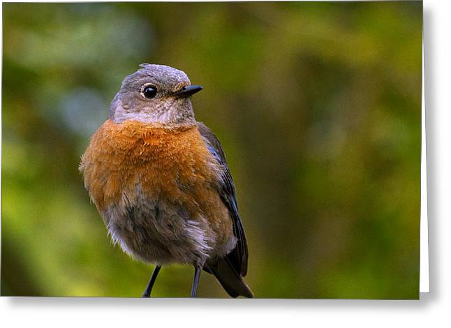 Passeriformes Greeting Cards - Turning Bluebird Greeting Card by Jean Noren