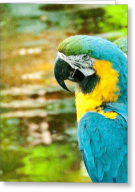 In Focus Greeting Cards - Turquoise Gold Macaw  Greeting Card by John Kain