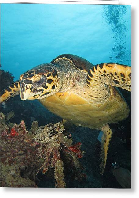 Underwater Diva Pyrography Greeting Cards - Turtle-20140109-2 Greeting Card by Guido Meijs