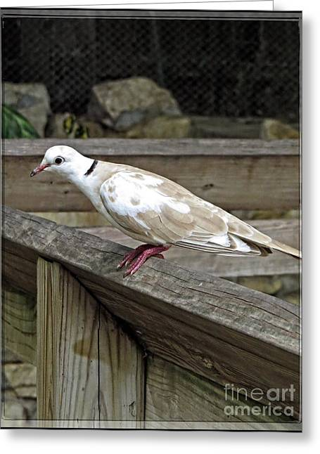 Holy Ring Greeting Cards - Turtle Dove - Symbol of Peace Greeting Card by Ella Kaye Dickey