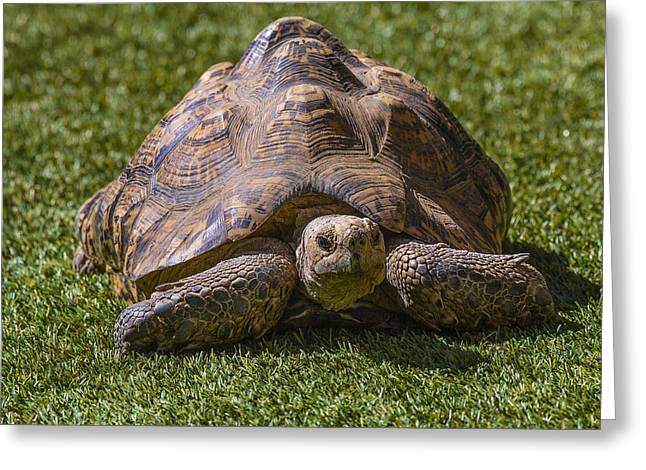Terrapin Greeting Cards - Turtle Greeting Card by Garry Gay