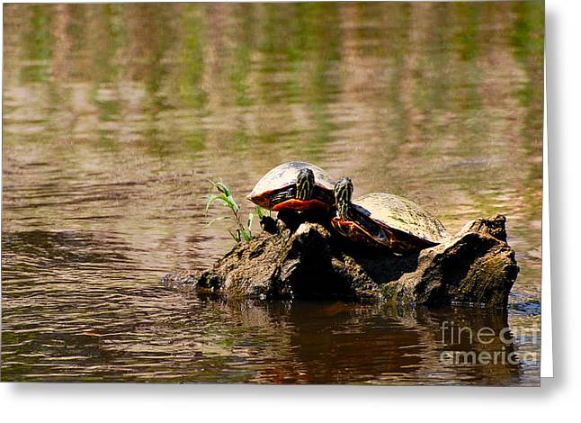 Water Lilly Greeting Cards - Turtle Log Greeting Card by Stuart Mcdaniel