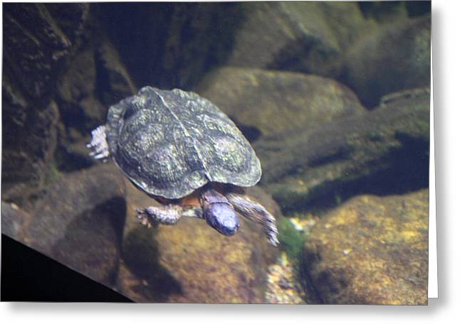 Sealife Greeting Cards - Turtle - National Aquarium in Baltimore MD - 121212 Greeting Card by DC Photographer