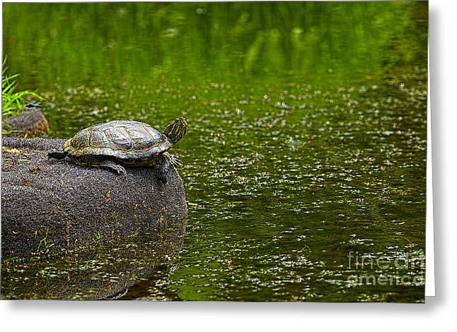 Red-eared Greeting Cards - Turtle on a Rock 2 Greeting Card by Sharon  Talson