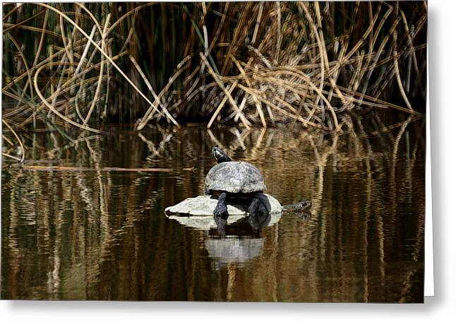 Nature Center Pond Greeting Cards - Turtle on Turtle Greeting Card by Ernie Echols