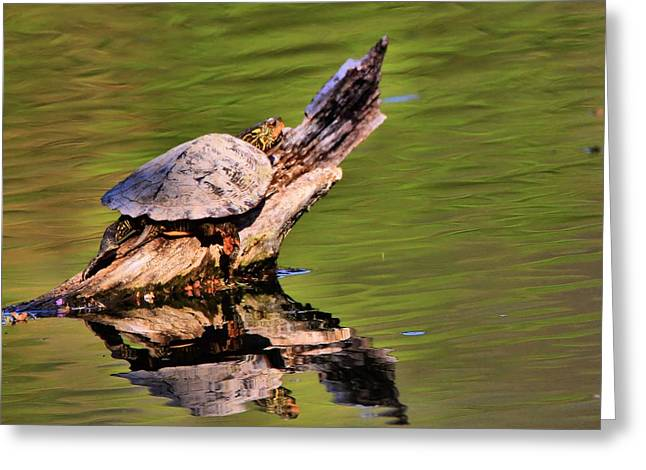 Wood Turtle Greeting Cards - Turtle Reflection Greeting Card by Dan Sproul