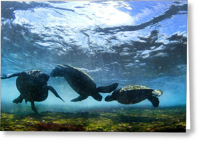 Under-water Greeting Cards - Turtle Trio Greeting Card by Sean Davey