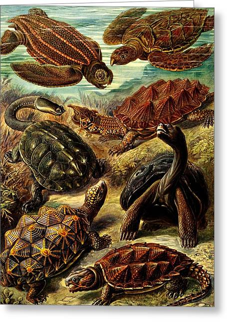Kunstformen Der Natur Greeting Cards - TURTLE Variety Greeting Card by Diane Addis