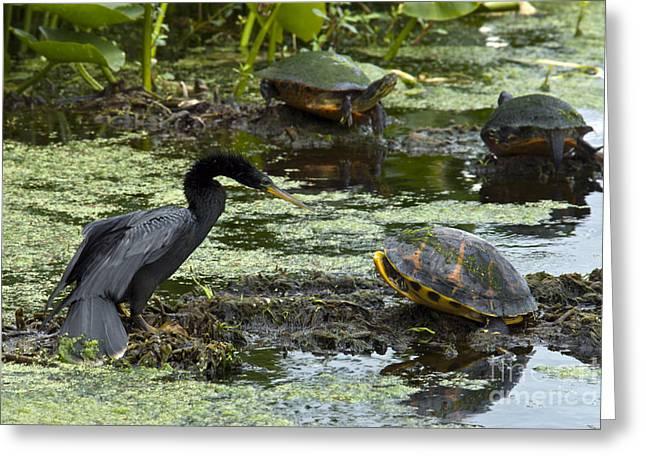 Anhinga Greeting Cards - Turtles And Anhinga Greeting Card by Mark Newman