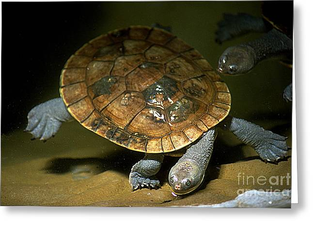 Gingrich Photo Greeting Cards - Turtles Float Greeting Card by Gary Gingrich Galleries