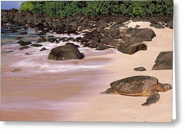 Ocean Photography Greeting Cards - Turtles On The Beach, Oahu, Hawaii, Usa Greeting Card by Panoramic Images