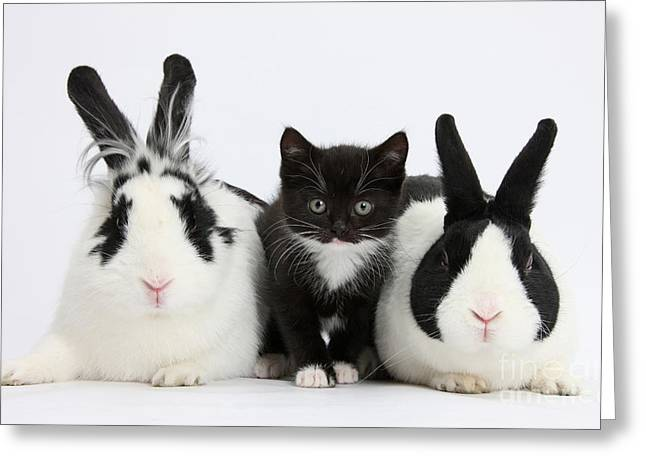 Tuxedo Greeting Cards - Tuxedo Kitten With Dutch Rabbits Greeting Card by Mark Taylor