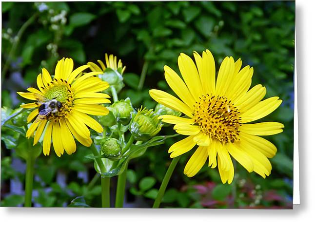 Insects Greeting Cards - Twin Daisies  Greeting Card by Aimee L Maher Photography and Art