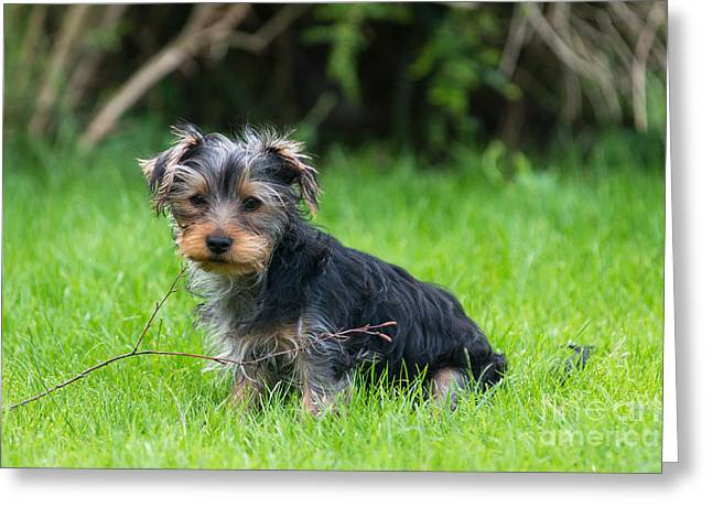 Small Leaping Dog Greeting Cards - Twigs Greeting Card by Andrew  Michael