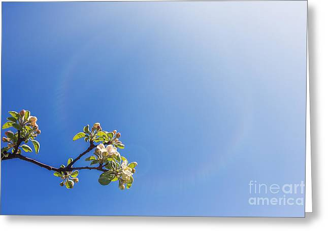 Apricot Greeting Cards - Twigs With White Flowers Greeting Card by Aleksey Tugolukov