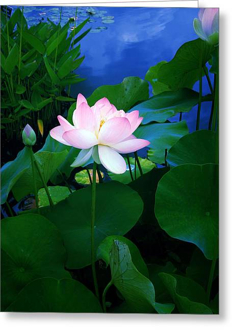 Tropical Plants Greeting Cards - Twilight Lotus Greeting Card by Jessica Jenney