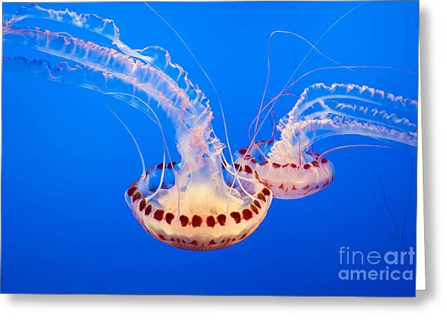 Jelly Fish Greeting Cards - Twin Dancers - Large colorful jellyfish Atlantic Sea Nettle Chrysaora quinquecirrha  Greeting Card by Jamie Pham