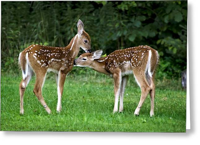 Animals Love Greeting Cards - Twin Fawns Greeting Card by Christina Rollo