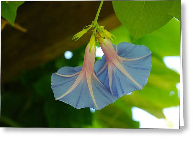Circle Skirts Greeting Cards - Twin Morning Glory Dancers Greeting Card by M E Wood