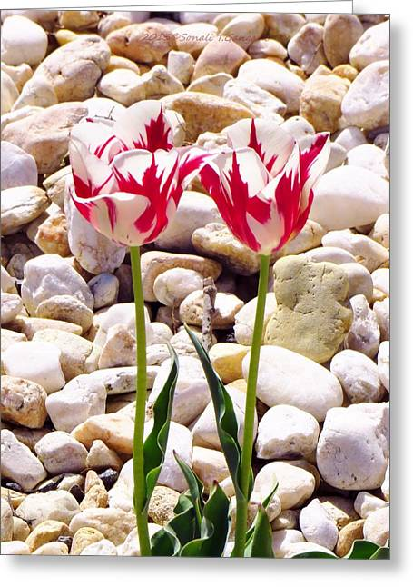 Undefined Greeting Cards - Twin tulip beauty Greeting Card by Sonali Gangane