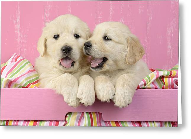 Puppies Photographs Greeting Cards - Twin White Labs In Pink Basket Greeting Card by Greg Cuddiford