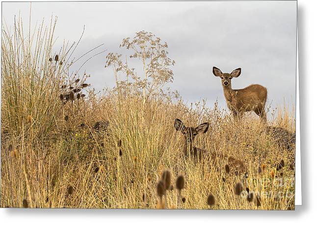 Siskiyou County Greeting Cards - Twin Yearlings Greeting Card by Randy Wood