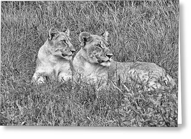 Lioness Greeting Cards - Twins V2 Greeting Card by Douglas Barnard