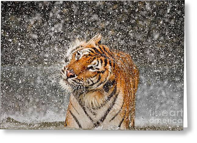 Tigris Greeting Cards - Twist and Shake Greeting Card by Ashley Vincent