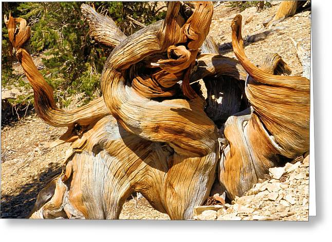 Oldest Living Tree Greeting Cards - Twisted And Ancient Greeting Card by Adam Jewell