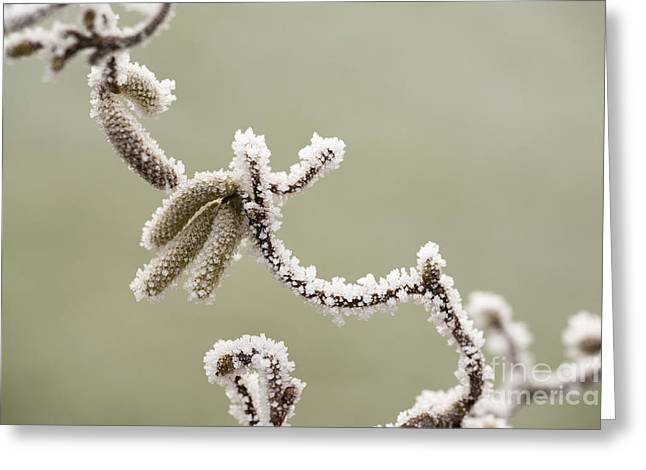 Wintry Greeting Cards - Twisted Frost Greeting Card by Anne Gilbert