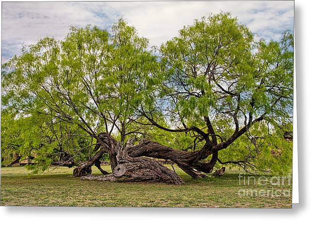 Gnarly Greeting Cards - Twisted Mesquite Greeting Card by Jemmy Archer