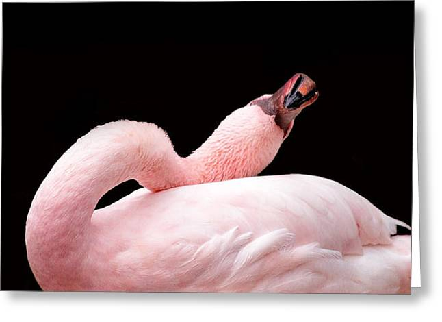 Flamingos Greeting Cards - Twisted Greeting Card by Rebecca Cozart