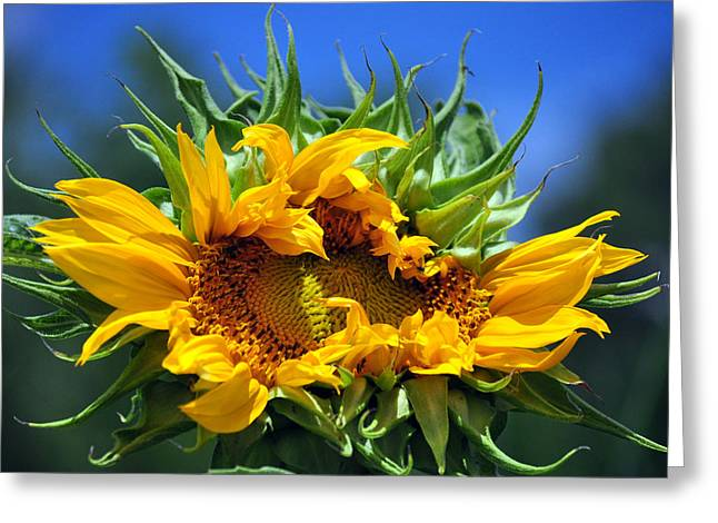 Twisted Sunflower Greeting Card by Gail Butler