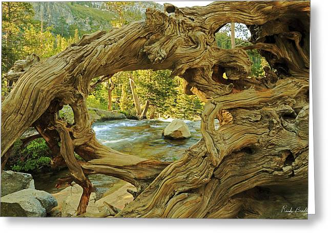 Tree Roots Greeting Cards - Twisted Tree Root Greeting Card by Randy Bradley