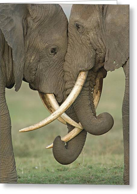 Tusk Greeting Cards - Two African Elephants Fighting Greeting Card by Panoramic Images