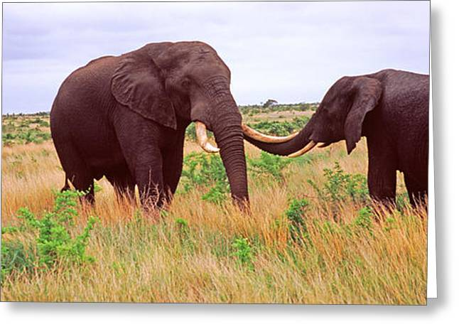 Playful Greeting Cards - Two African Elephants Loxodonta Greeting Card by Panoramic Images