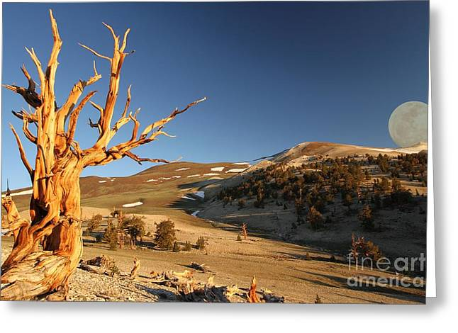 Oldest Living Tree Greeting Cards - Two Ancients Greeting Card by Adam Jewell