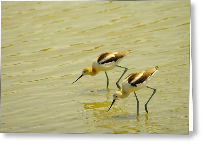 Water Fowl Greeting Cards - Two Avocets Having A Drink Greeting Card by Jeff  Swan