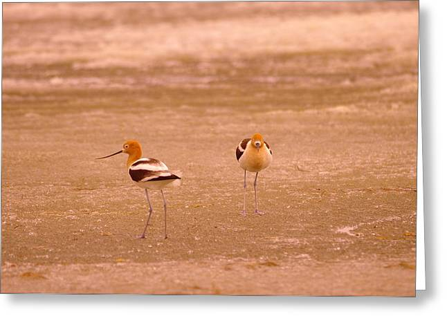 Migratory Bird Greeting Cards - Two Avocets Greeting Card by Jeff  Swan