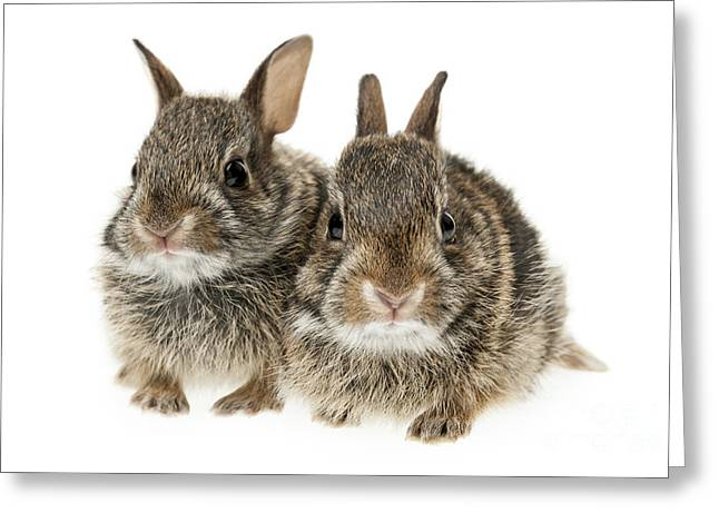 Hare Greeting Cards - Two baby bunny rabbits Greeting Card by Elena Elisseeva