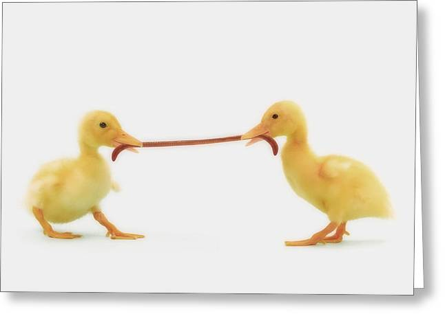 Ducklings Greeting Cards - Two Baby Ducklings Fighting Greeting Card by Thomas Kitchin & Victoria Hurst