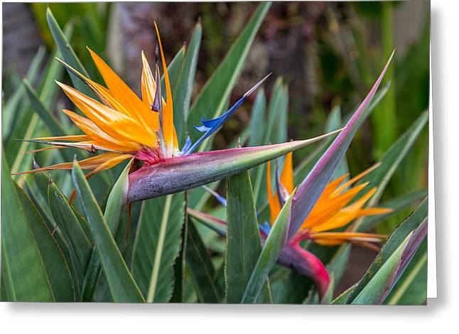 Two Birds Greeting Cards - Two Birds of Paradise Greeting Card by Pierre Leclerc Photography