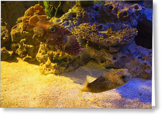 Puffer Fish Digital Greeting Cards - Two Blow Fish  Greeting Card by Chris Flees