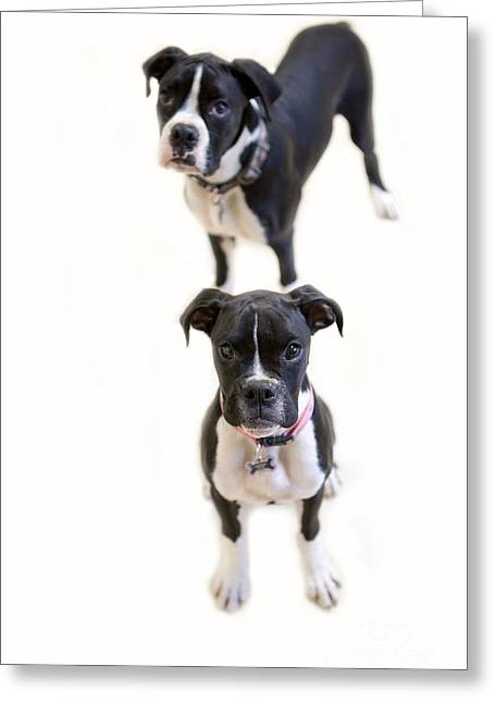 Boxer Greeting Cards - Two Boxers Greeting Card by Rebecca Cozart