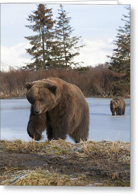 American Brown Bear Greeting Cards - Two Brown Bears Walk Across A Frozen Greeting Card by Doug Lindstrand