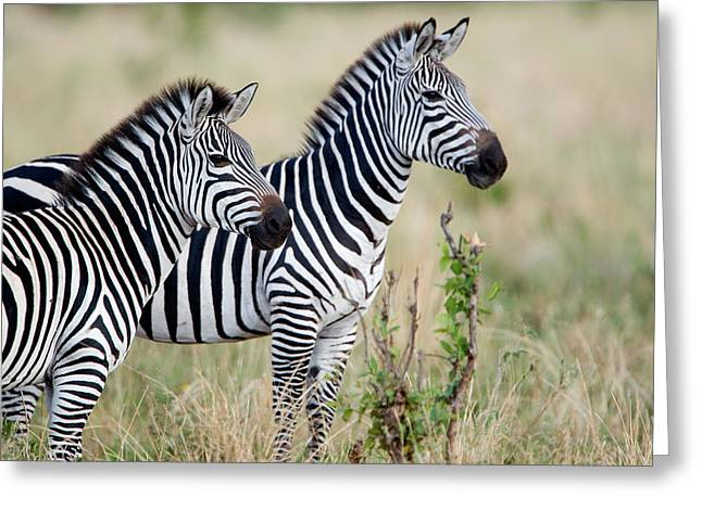 Zoology Greeting Cards - Two Burchells Zebras Equus Burchelli Greeting Card by Panoramic Images
